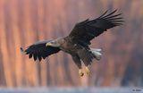 Морски орел ; comments:35