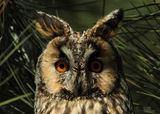 Горска ушата сова (Asio otus) ; comments:10