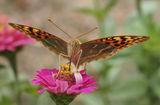 Пеперуда ; comments:73