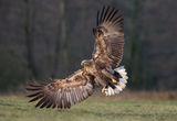 белоопашат орел ; comments:40