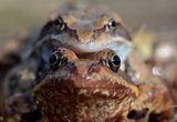 Планинска водна жаба (Rana temporaria) ; comments:12