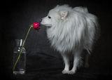 Eтюд с куче и роза ; comments:17