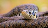 Жълтоухаводна змия(Natrix natrix) ; comments:38