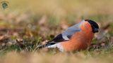 Мъжка червенушка ; comments:12