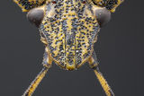 Миризливка (Palomena prasina) ; comments:4