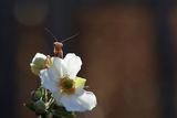 Европейска Богомолка (Mantis religiosa), кафяв подвид ; comments:61