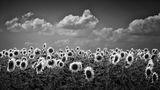 Слънчо гледа слънчогледа :) ; Comments:23