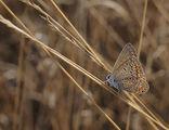 Пеперуда ; comments:83