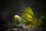 Горицвет (Adonis vernalis) ; comments:34
