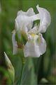 Ирис Перуника Iris ; comments:15