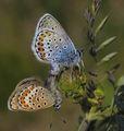 Пеперуди ; comments:95