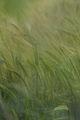 Пролетно жито ; comments:13