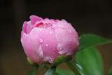 Розово божурче! ; comments:3