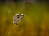 Пеперуда ; comments:49
