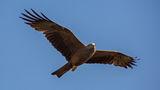 Черна каня ( Milvus migrans ) ; comments:14