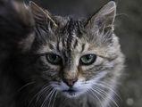 Котката с Изумрудени Очи ; comments:2
