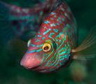 Морска зеленушка ; comments:6