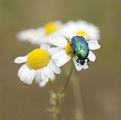 Златният бръмбар ; comments:40