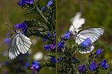 Пеперуден диптих ; Comments:3