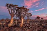 Големите дървета Алое вера, Намибия ; comments:28