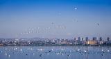 Бургас, морето и неговите птици ; comments:48
