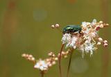 Обикновена златка (Cetonia aurata) ; comments:58