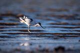 Саблеклюн (Recurvirostra avosetta) ; comments:10