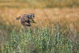 Ловуваща горска ушата сова (Asio otus) ; comments:12