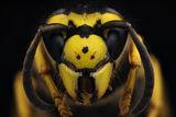 vespula vulgaris ; Comments:7