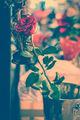 Просто роза. ; Comments:5