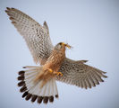 Old World kestrel ; comments:17