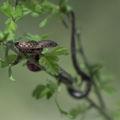 Сива водна змия (Natrix tessellata) ; comments:60