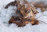 Спомен за ранната пролет - жабешки страсти ; comments:10