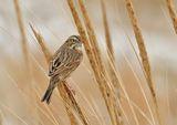 Savannah Sparrow,  Северна Америка ; comments:15