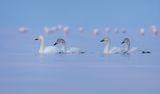 Тундрови лебеди ; comments:9
