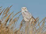 Бяла сова ; comments:17