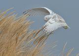 Бяла сова ; comments:31