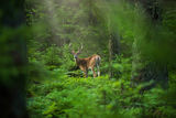 Fallow Deer ; Comments:14