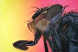blue bottle fly (Calliphora vicina) ; Comments:5