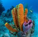 Yellow tube sponge ; comments:17