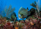 French angelfish ; comments:27