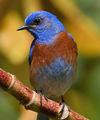 Западна синя птичка ; comments:8