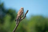 Белошипа ветрушка, женски екземпляр ; Comments:8
