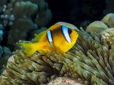 """Риба """"Клоун"""" ; comments:7"""