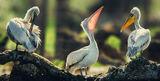 Пеликанска среща ; comments:11