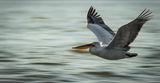 Устрем (къдроглав пеликан) ; comments:12