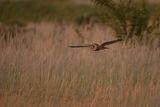 Горска ушата сова по залез ; comments:8