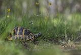 Шипобедрена костенурка (Testudo graeca) ; comments:45