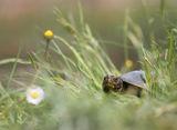 Европейска блатна костенурка (Emys orbicularis) ; comments:43