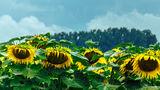 Слънчогледи под дъжда ; comments:6